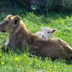 lion_and_lamb_kingdom_of_god