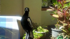 All_Things_Fulfilled Magpie on a Mission